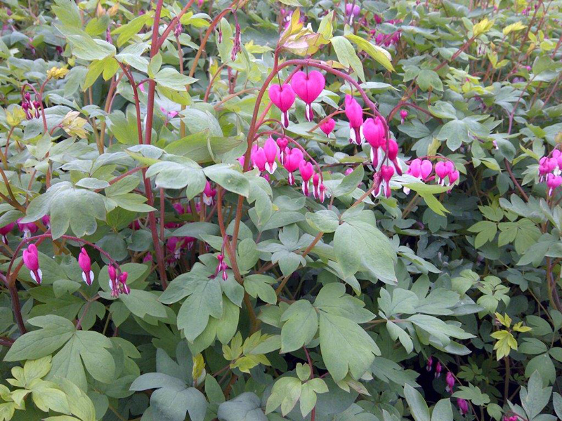 Old Fashioned Pink Bleeding Hearts in Flower