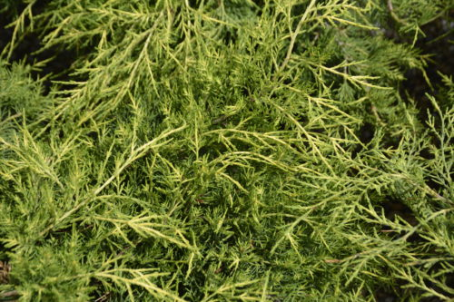 Old Gold Juniper Foliage Close Up