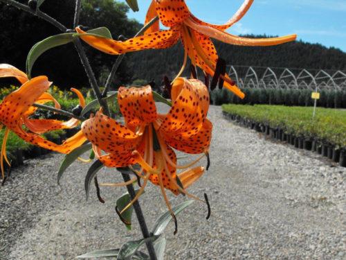 Orange Tiger Lily Flower Close Up