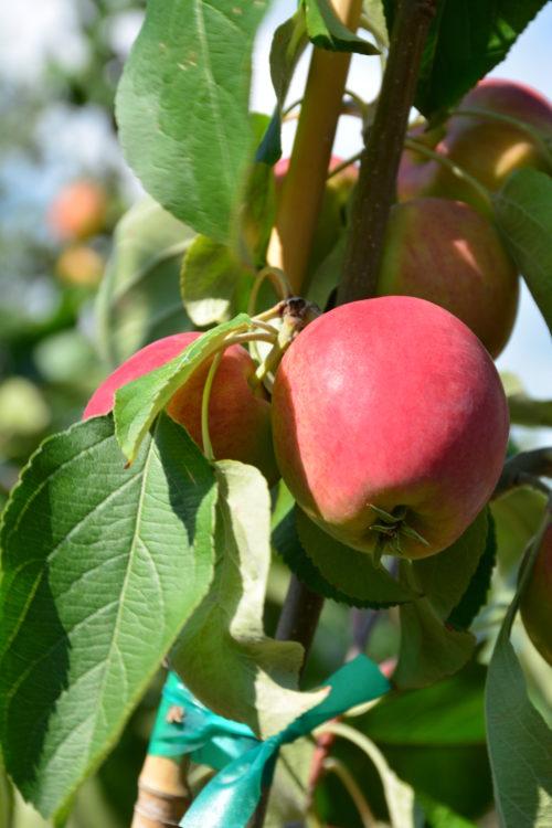 Parkland Apple Fruit Close Up
