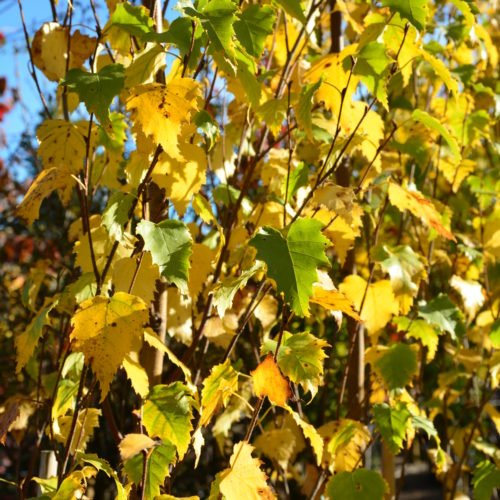 Parkland Pillar Fall Colours