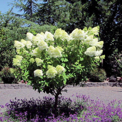 Peegee Hydrangea in Flower