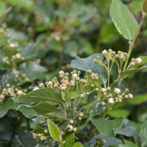 Peking-Hedge Cotoneaster Flower Close Up