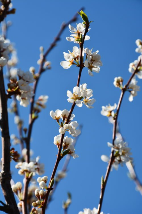 Pembina Plum Flower Close Up