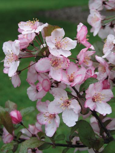 Pink Spires Crabapple Flower Close Up