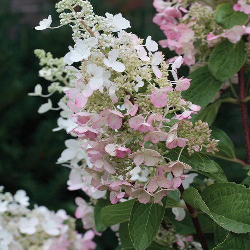 Pinky Winky Hydrangea Flower Close Up