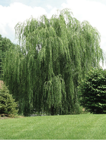 Prairie Cascade Weeping Willow Full Tree