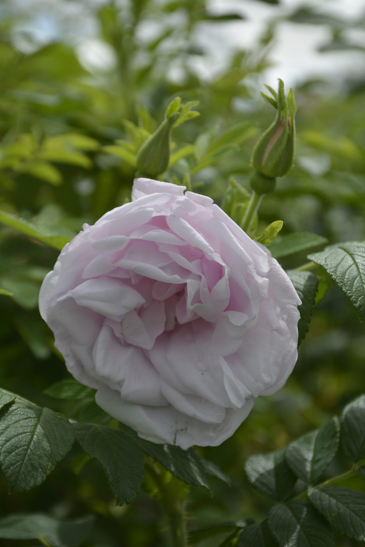 Snow Pavement Rose Flower Close Up