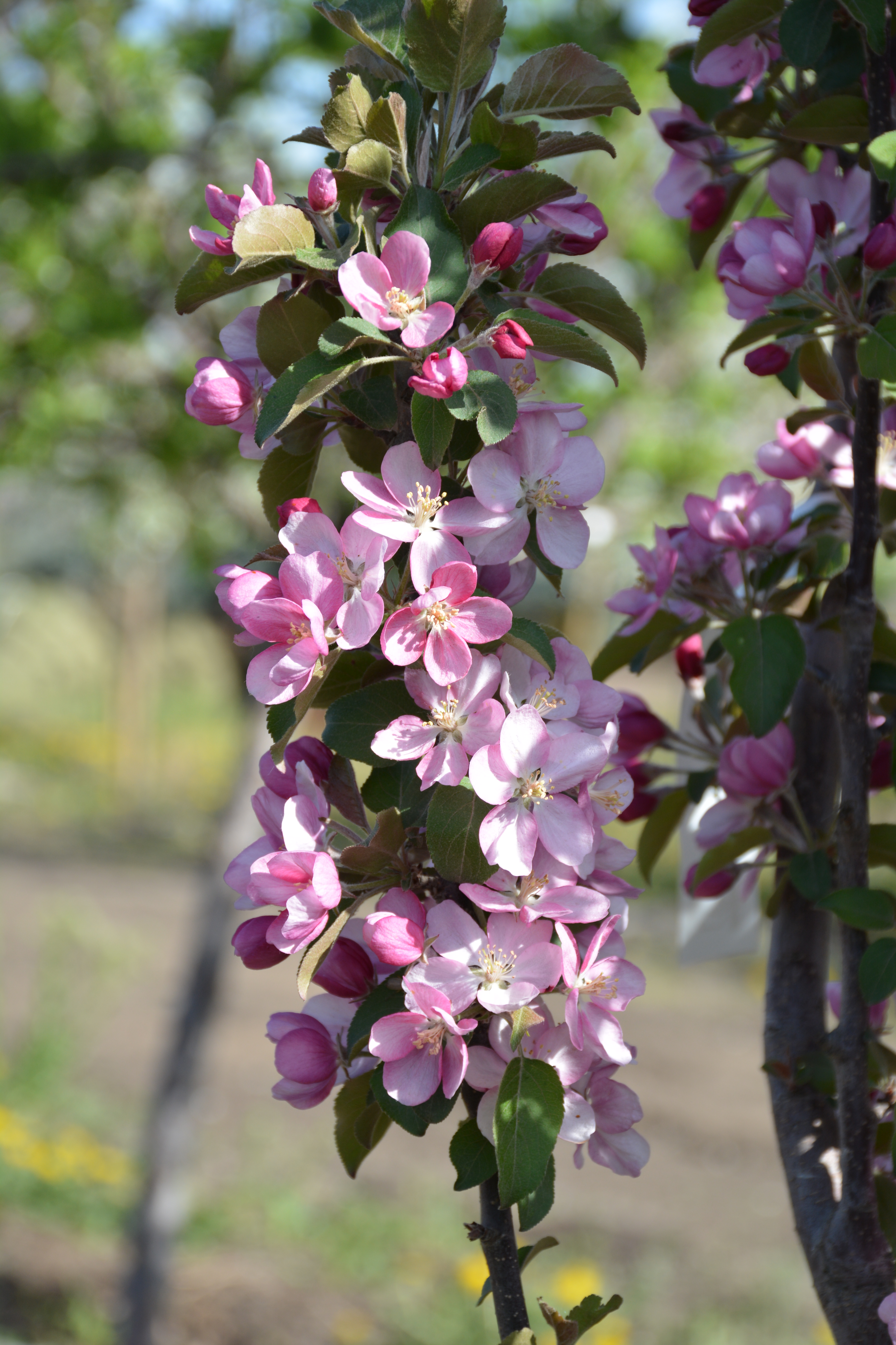 Purple Spire Crabapple Flower Close Up