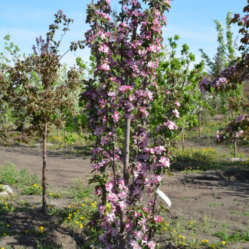 Purple Spire Crabapple in Flower