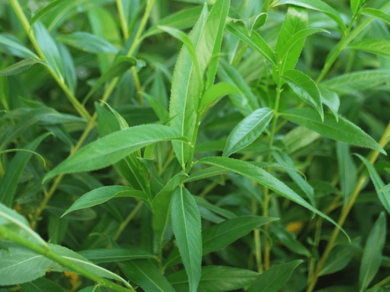Pussy Willow Foliage Close Up