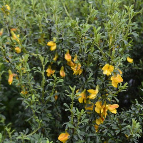 Pygmy Caragana in Flower