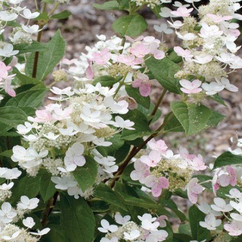 Quick Fire Hydrangea Flower Close Up