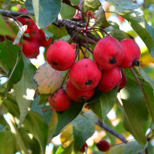 Radiant Crabapple Fruit Close Up