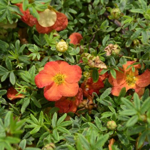 Red Joker Potentilla Flower Close Up