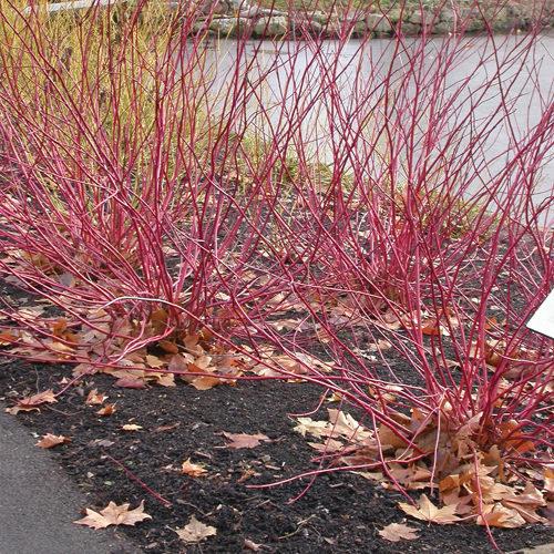 Red Osier Dogwood Winter Interest