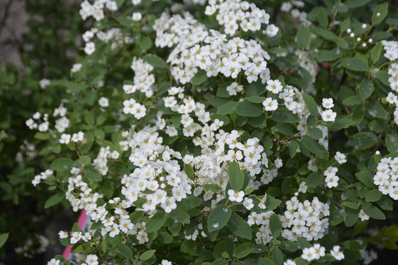Renaissance Spirea in Flower