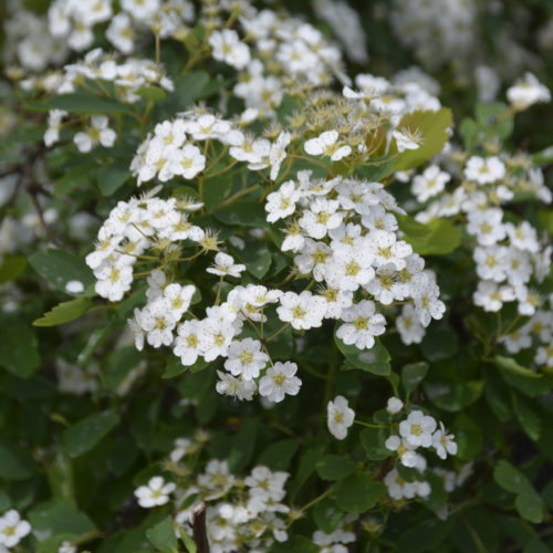 Renaissance Spirea Flower Close Up