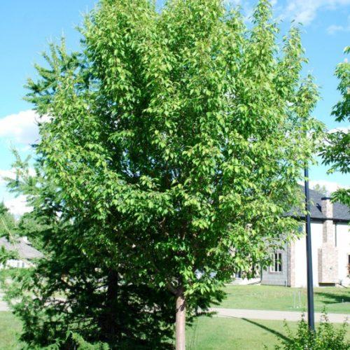 Rosthern Siberian Crabapple Full Tree