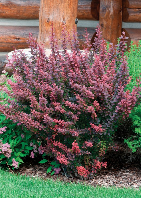 Royal Cloak Japanese Barberry Full Shrub