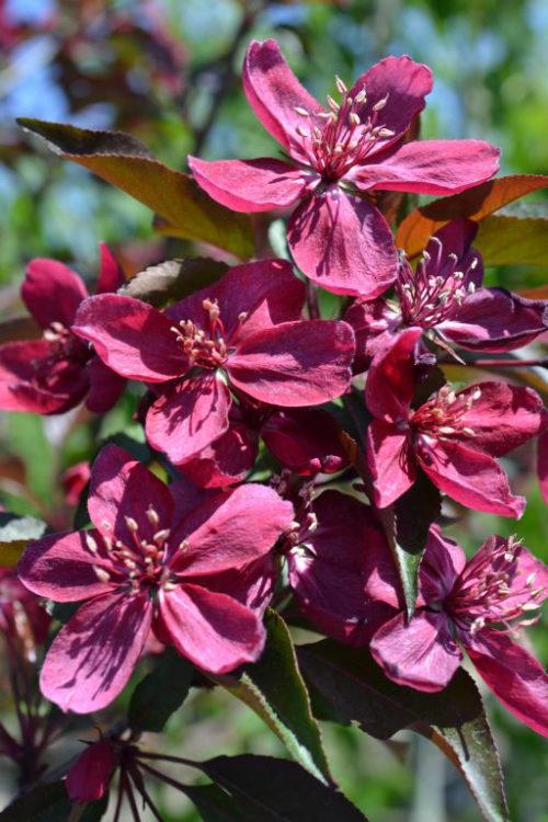 Royalty Crabapple Flower Close Up