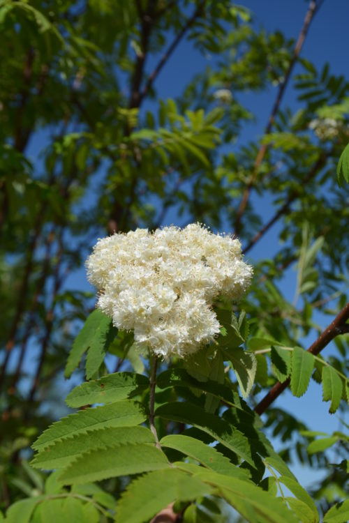 Russian Mountain Ash Flower Close Up