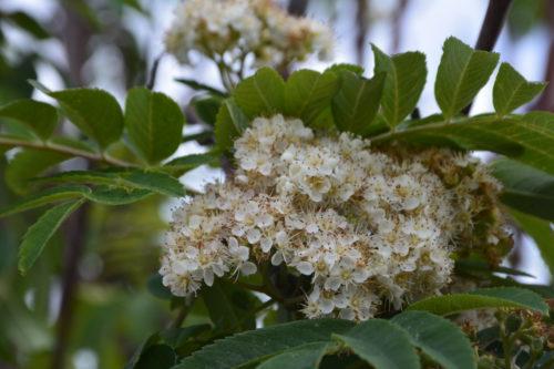 Russian Mountain Ash Flower Close Up