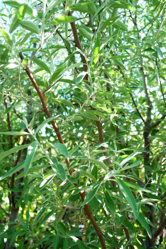 Russian Olive Foliage Close Up