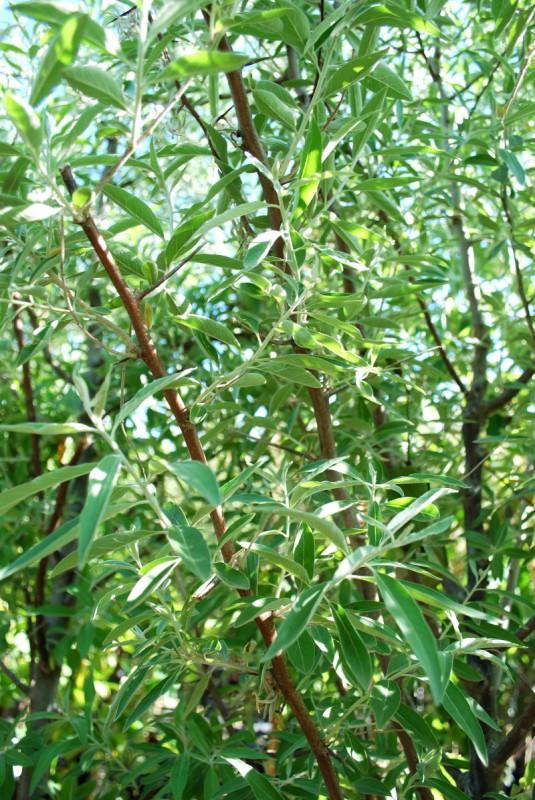 Russian Olive Foliage Close Up