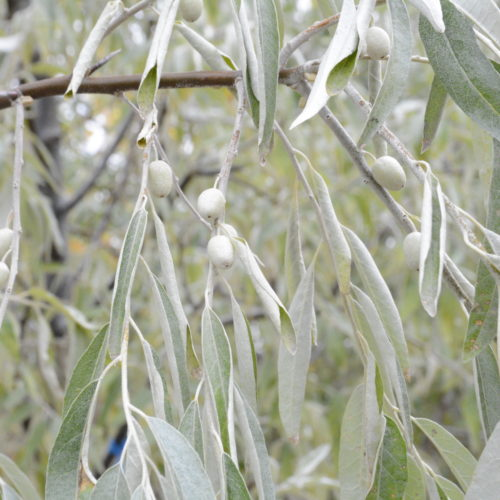 Russian Olive Fruit Close Up