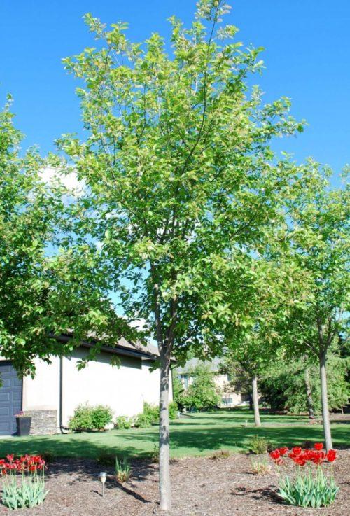 Schubert Chokecherry Full Tree