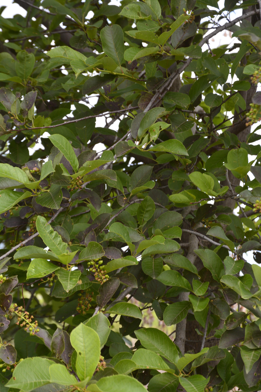 Schubert Chokecherry Foliage Close Up