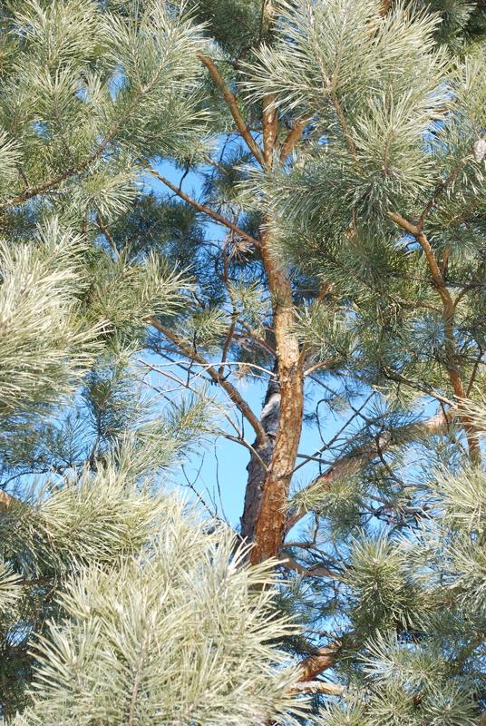 Scots Pine Bark Close Up