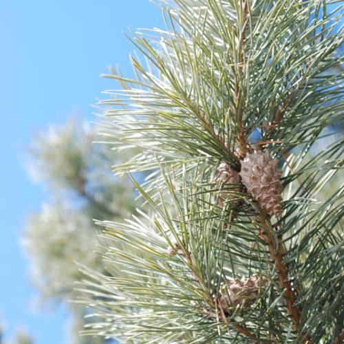 Scots Pine Needles Close Up