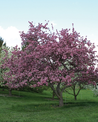 Selkirk Crabapple Full Tree