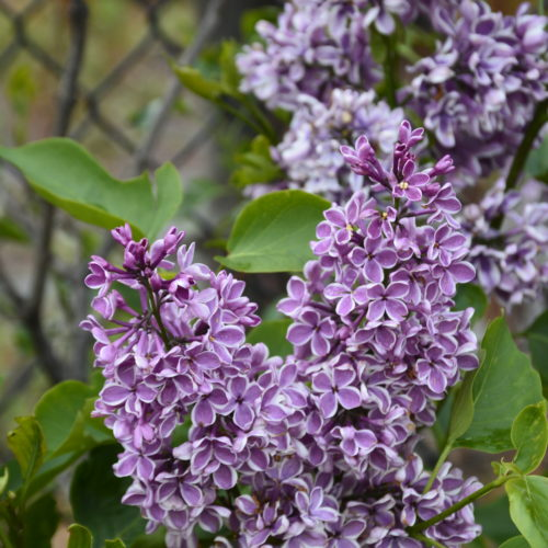 Sensation French Lilac Flower Close Up