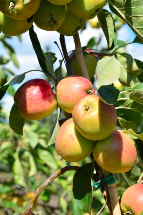 September Ruby Fruit Close Up