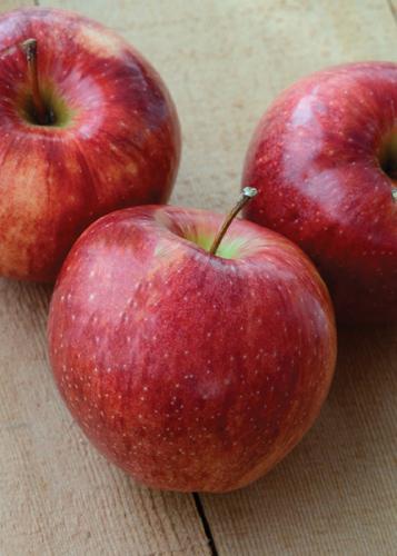 September Ruby Apple Fruit Close Up