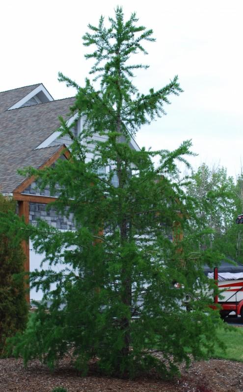 Siberian Larch Full Tree