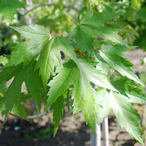 Sienna Glen Maple Foliage Close Up