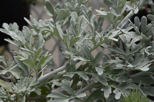Silver Brocade Artemisia Foliage Close Up