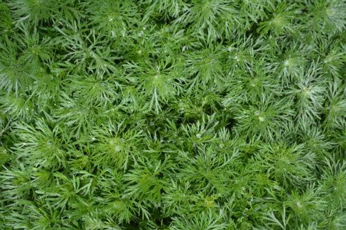 Silver Mound Artemisia Foliage Close Up