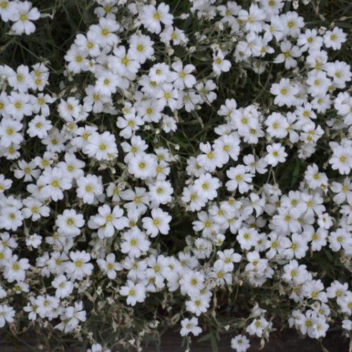 Snow in Summer in Flower