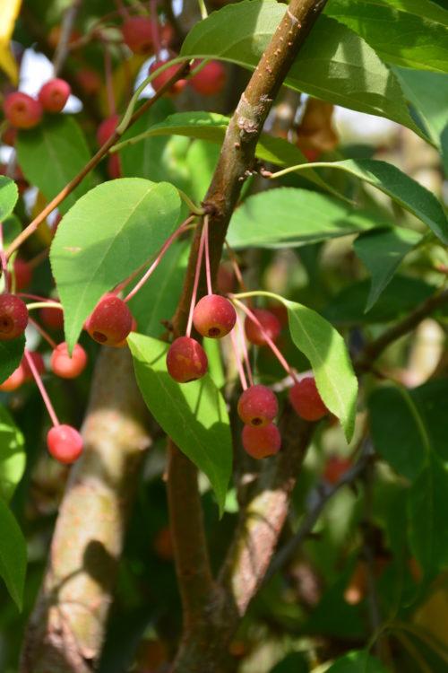 Starlite Crabapple Fruit Close Up