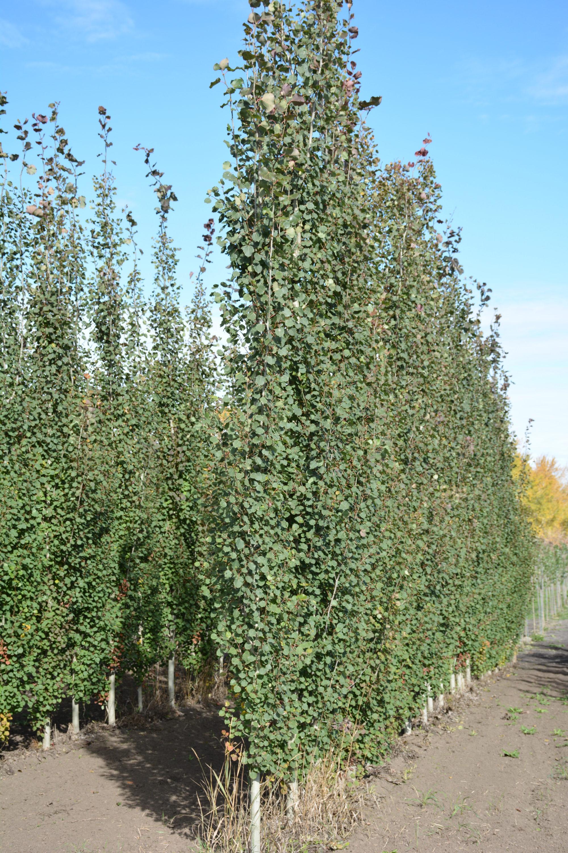 Swedish Columnar Aspen Full Tree