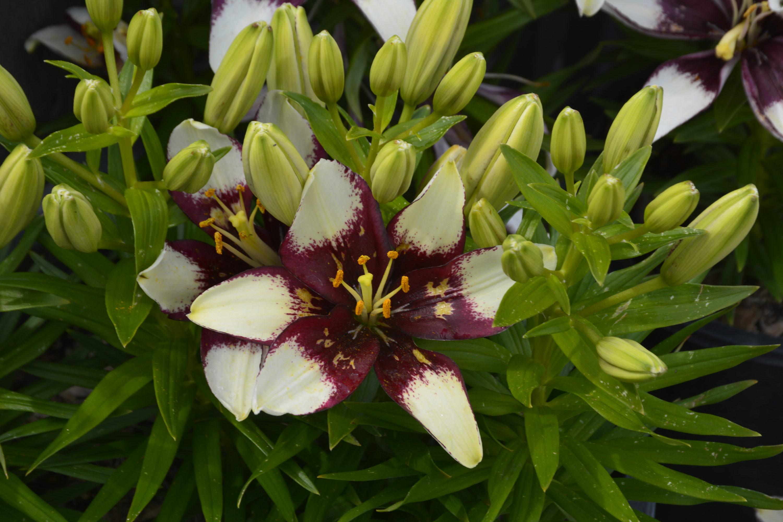 Tiny Padhye Lily Flower Close Up