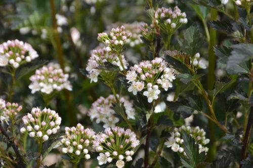 Tiny Wine Ninebark Flower Close Up