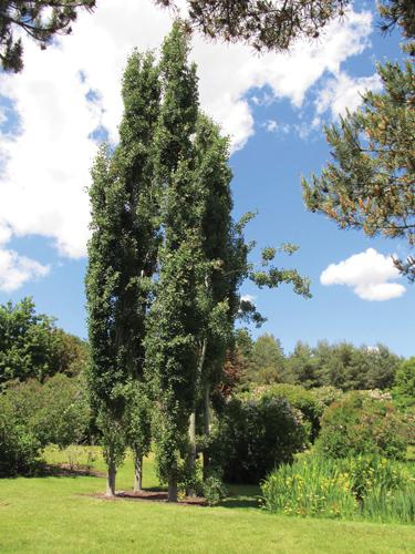 Tower Poplar Full Tree