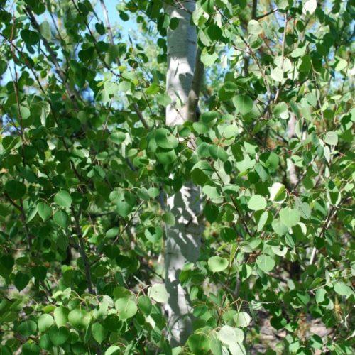 Trembling Aspen Foliage Close Up