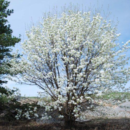 Ussurian Pear in Flower